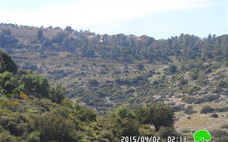 The Israeli occupation uproots more than 100 olive saplings in Salfit governorate