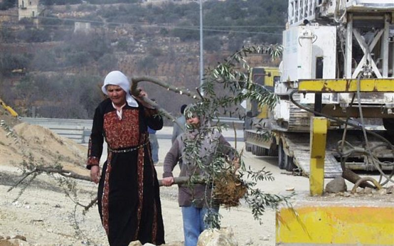 """Fraught with Blood & Violence"" The Olive Harvest Season in Palestine 2015"