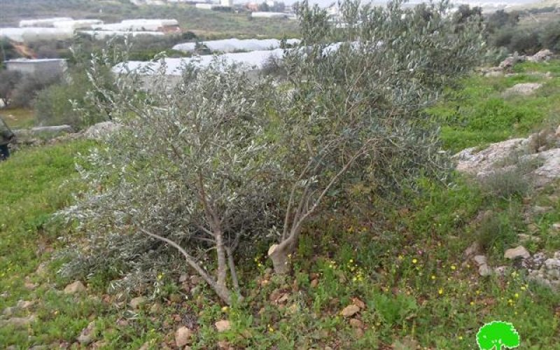The occupation forces uproot 50 olive trees in Tulkarm governorate