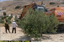 The Olive Harvest Season in Palestine, 2003