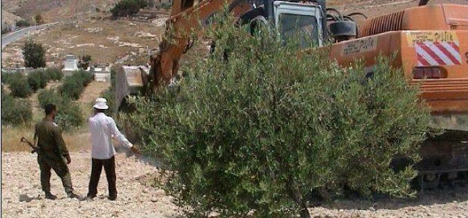 The Olive Harvest Season in Palestine, 2003