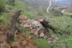 State Vandalism: Israel Disrupts Nature in Al-Walaja Village