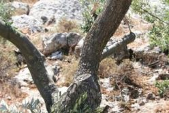 Ecocide in Beit Jala … Again !!!