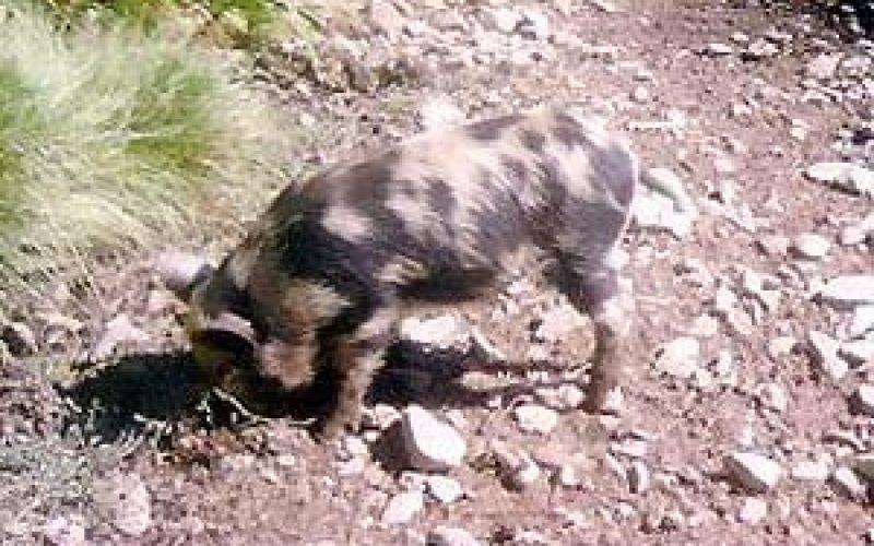 Israeli brought wild pigs destroy tens of dunums in Deir Ballut plain