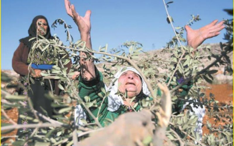 Hagai settlers cut olive trees in Ar Rihiya village