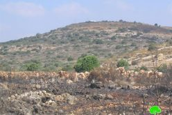 Hundreds of olive trees burned by Israeli settlers in Jinsafut Village