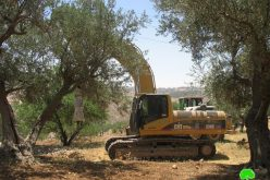 Devastation of land and uprooting of long- lived olive trees in Beit Hanina