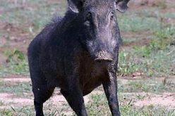 الخنازير البرية تجتاح الاراضي الفلسطينية و تدمر الاراضي الزراعية و الممتلكات