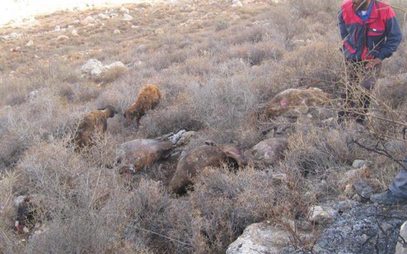مستعمرون يهود يحرقون 17 رأساً من الأغنام تعود لمزارع فلسطيني في خربة الطويل – عقربا