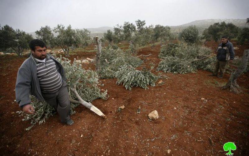 إتلاف أكثر من 270 شجرة زيتون بين قريتي قصرة ودوما