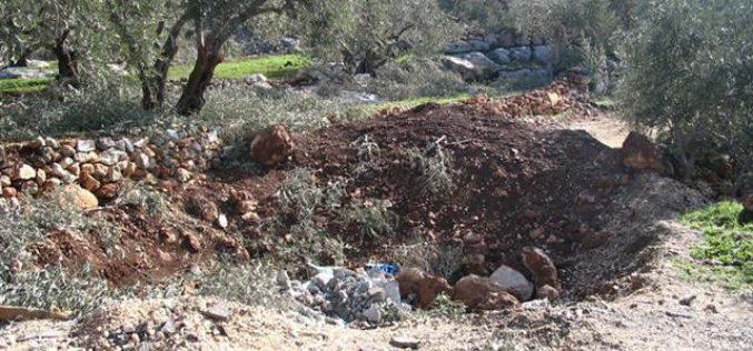 اقتلاع 19 غرسة زيتون في منطقة وادي قانا