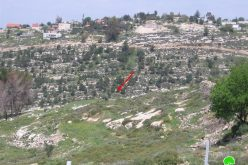 Colonists of Bat Ayin Uproot 30 Olive Trees  Beit Ummar Town – Hebron Governorate