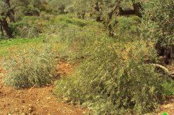 مستوطنو مستوطنة براخا  يتلفون بشكل جزئي 42 شجرة زيتون في قرية بورين – محافظة نابلس