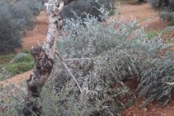 مستعمرون يهود يقتلعون أشجار زيتون مثمرة قرية برقة – محافظة رام الله