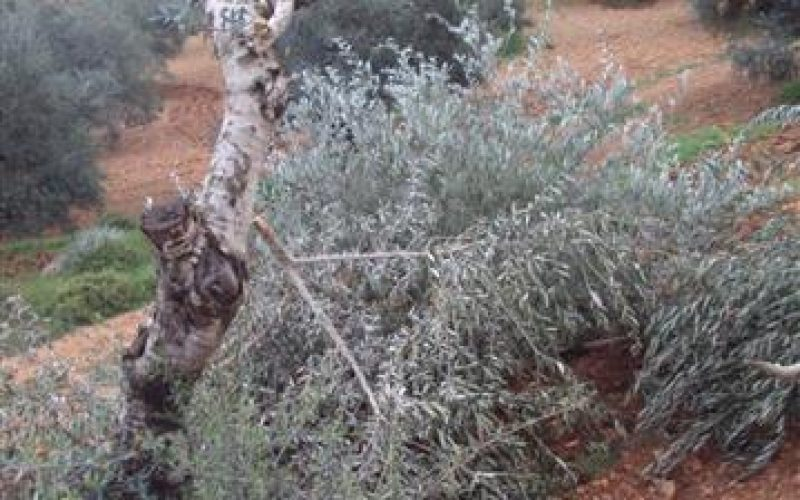 Israeli Colonists Uproot Olive Trees in  Burqa – Ramallah Governorate