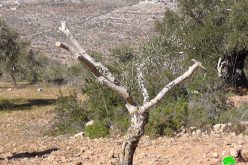 مستوطنون  يقطعون 40 شجرة زيتون مثمرة في قرية  قريوت – محافظة نابلس