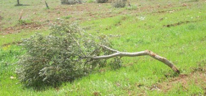 مستوطنو  مستوطنة  جلعاد زوهر يتلفون 25 شجرة زيتون في  قرية فرعتا
