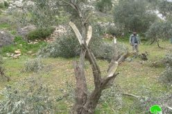 Colonists Ravage Trees in Beit Ummar