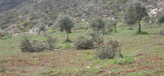 Gilad Zohar colonists ravage 25 olive trees in Far'atta village
