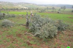 Ravaging 250 Olive Trees in Bitillo