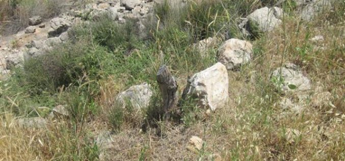 Ravaging 20 Olive Trees in Shufa