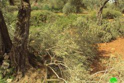 اقتلاع 100 شجرة زيتون في قرية بيتللو / محافظة رام الله