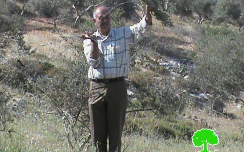 Ravaging 267 Olive Seedlings in Aqraba