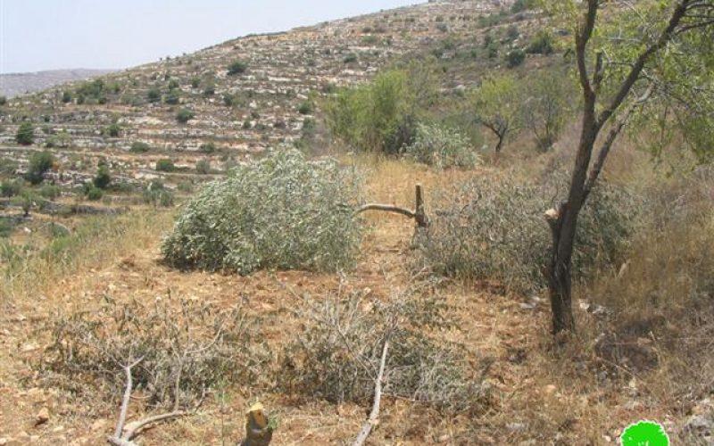 اقتلاع 71 غرسة زيتون في قرية بورين
