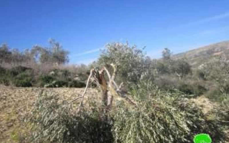Colonists of Yizhar Ravage 54 Olive Trees