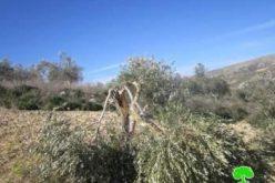 إتلاف 54 شجرة زيتون بشكل جزئي في قرية بورين