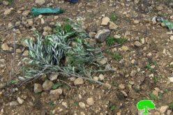 الاحتلال يتلف 40 غرسة زيتون في بلدة دير بلوط