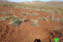 """مستعمرو """"عادي عاد"""" يتلفون 30 شجرة في بلدة ترمسعيا /محافظة رام الله"""