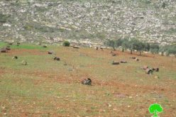 Damaging 64 olive trees in Qusra/ Nablus