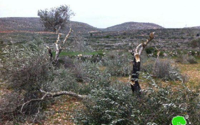 قطع 112 شجرة زيتون في قرية الساوية / محافظة نابلس
