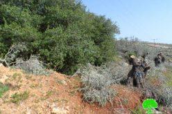 قطع 25 شجرة زيتون في قرية دير جرير / محافظة رام الله
