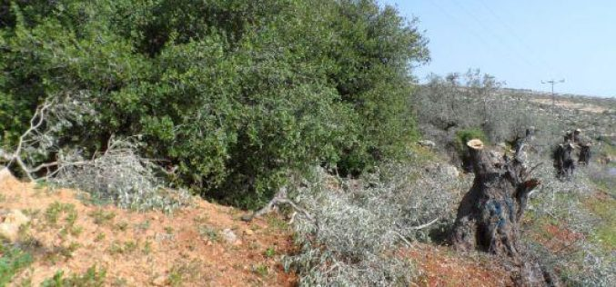 Cutting down 25 Olive Trees in Deir Jarer/ Ramallah