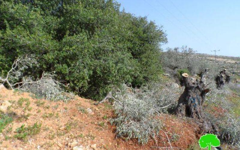 Cutting down 25 Olive Trees in Deir Jarer/ Ramallah