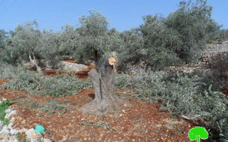 Damaging 78 Olive Trees in Qariot village – Nablus Governorate