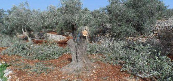 إتلاف  78 شجرة زيتون في قرية قريوت