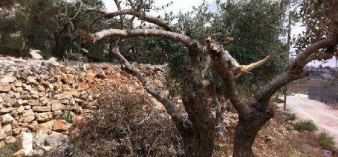 مستعمرو كرمي تسور يعتدون على اراضي المواطنين شمال حلحول