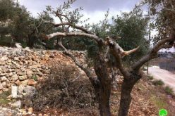 Knocking down retaining walls and breaking of trees in Wadi al Amir in Halhul – Hebron