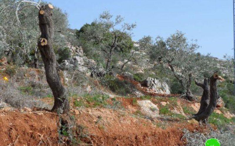 إتلاف 12 شجرة زيتون في قرية بورين