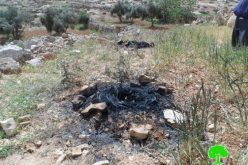 Colonists set olive saplings ablaze and use agricultural lands for sheep grazing