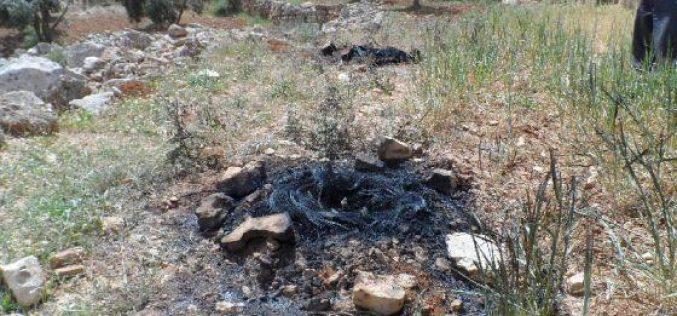 مستعمرون يحرقون اشتال زيتون ويستخدمون الأراضي الزراعية للرعي