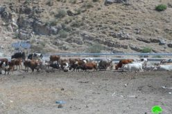The Israeli occupation Authorities confiscated two cows and drugged five others in Toubas governorate