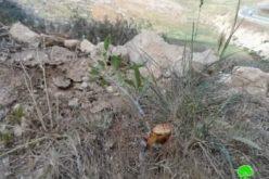 سلطات الاحتلال تقتلع وتصادر (450 ) شجرة جنوب الظاهرية