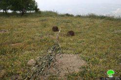 مستوطنو مستوطنة يتسهار يتلفون 66 غرسة زيتون في قرية عوريف