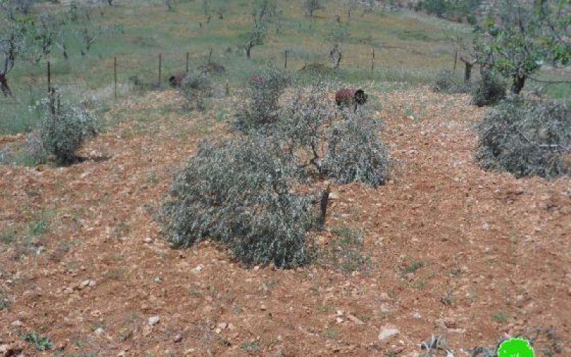 """مستعمرو """"عوفرا"""" يتلفون 28 شجرة زيتون في قرية دير جرير"""
