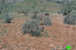 Colonists Cut Down 28 Trees In Deir Jareer