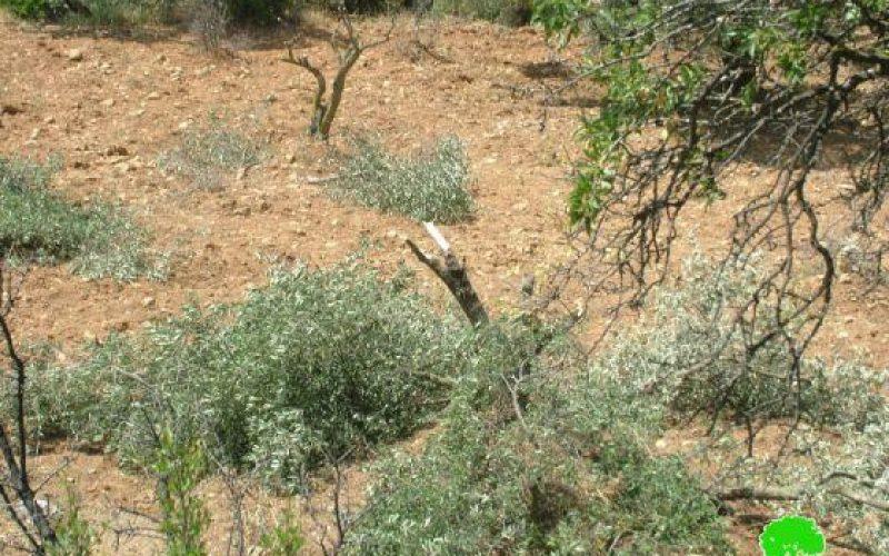 """مستعمرو """"جبعوت"""" يقطعون 50 شجرة زيتون في قرية نحالين"""